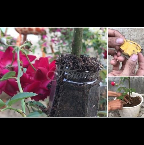 Така си размножавам розите в градината с помощта на бананова кора - за 2 седмици пуска корени и направо засаждам!