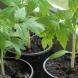 Разсад на домати 2020-Основни грешки