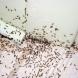 Само поръсих с тази подправка дома си и помен нямам вече от ужасните мравки