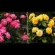 Подмладяване на рози със сода - секретният метод от мрежата. 1 ч.л. и се отрупва в пъпки за половин месец: