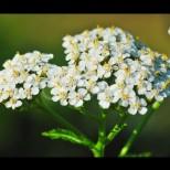 Златната билка на България-Рецепти срещу женски болести и дори за плосък корем