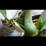 Да режем ли цветоноса или не? Ето какво точно се прави с орхидеята, след като прецъфти: