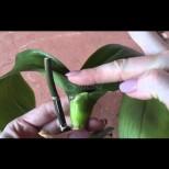 Даже да е останала без живо коренче, орхидеята пак ще зацъфти - сигурен начин за спешна реанимация: