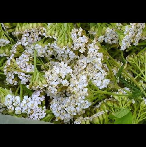 Бял равнец-Златната билка на България-Рецепти срещу женски болести и дори за плосък корем