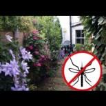 Как да си направим щит срещу комарите покрай къщата - 10 красиви растения, които гонят всякаква летяща гад: