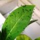 1 капка и забравих за мушиците у нас и листните въшки, които бяха нападнали любимото ми цвете