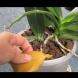 Защо листата на орхидеята пожълтяват и как да я съживите?
