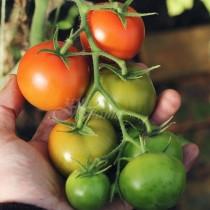 Няколко капки във водата, която поливате и зелените домати ще са готови до дни