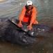 Откриха мъртви китове \