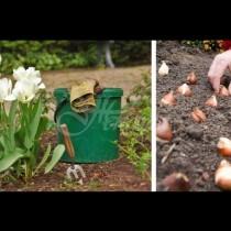 Правилният срок на засаждане на луковиците на лалета през есента ще позволи да се появят красиви цветя през пролетта