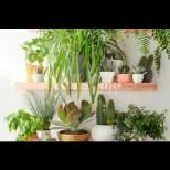 Ето какво цвете да гледате вкъщи, за да сте здрави: пречиства въздуха от лъчения, вируси, отрови