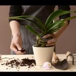 Как да реанимираме орхидея след слънчево изгаряне (СНИМКИ):