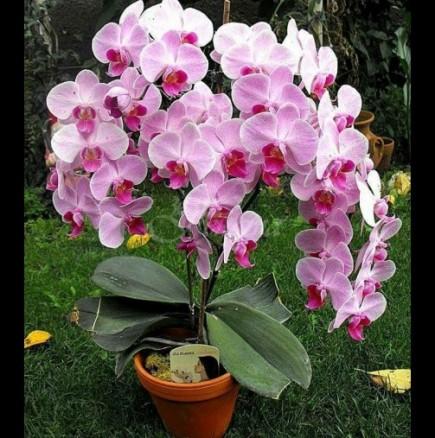 5 причини, поради които една орхидея не иска да цъфти! Ето какво да правите, за да полудее от цвят!