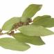 Дъвчете всеки ден дафинов лист и ще станат чудеса със здравето ви-Трябва обаче и правилно да го дъвчете