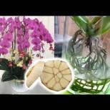 Чесънът е истинско спасение за орхидеите! Цветето ми цъфтя цял месец повече от всякога