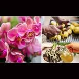Картофена вода за цъфтеж на орхидеи - белиш 3 картофа на литър вода, а после орхидеята натежава от цвят!