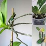 Имате само една орхидея, а искате много? Ето един прост и ефективен начин за възпроизвеждане