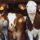 Защо Бил Гейтс ви моли да забравите за телешкото