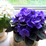 Как да си отгледаме теменужки вкъщи- няколко листа, пластмасова чашки и нищо специално и ще се радвате на цвят половин година