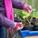 Как се подрязва Мушкатото през март, за да ви радва с богат цъфтеж и нови съцветия! /СНИМКИ/