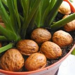 Защо всички опитни домакинки започнаха да слагат черупки от орехи в цветята си