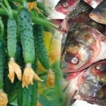 Защо всички опитни градинари започнаха да заряват рибни глави в градините си