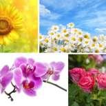 Символиката на едни от най-популярните цветя