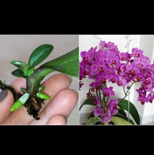 Знаете ли, че може да размножите орхидеята от листо? Ето как - стъпка по стъпка: