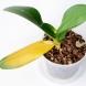 Защо листата на орхидеите пожълтяват! Трябва да реагирате бързо!