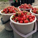 Опитните градинари разкриха един съвет, за да удвоите реколтата от ягоди!