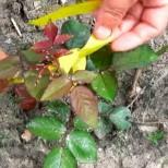 Гледам съседът сложил жълти панделки на розите в градината, като видях защо набързо и аз им вързах