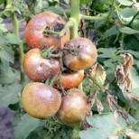 Народно лекарство изпарява маната при доматите
