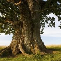 Талисмани дървета-Какво да поискате от бор и защо е полезно да прегърнете бреза