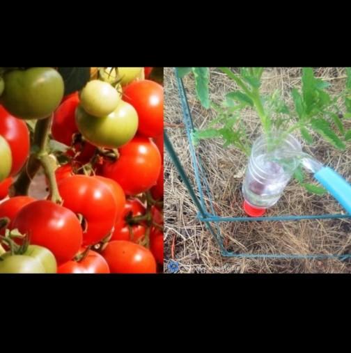 Слагам бутилка вода до всеки корен и доматите се превиват от плод - ето как се прави: