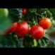 Защо да режете листата на доматите? Безценен съвет от градинар: