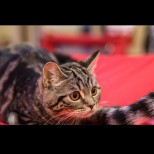 Невидимите сигнали на котката, че в дома ви цари щастие или ви грози опасност: