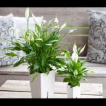 Пречиствателна станция у дома - не ви трябва уред, просто си захванете това красиво растение и ще дишате с пълни гърди!