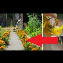 Расте във всеки двор, а щом го залееш с олио става МОЩНО лекарство: Цели зрението, ставите и стомаха:
