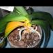 Защо жълтеят листата на орхидеята? Причини и бърза помощ: