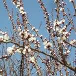 Овощните дръвчета край Сандански цъфтят!