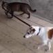 Котка води куче за каишка ! Впечатляващо видео!
