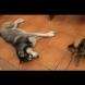 Кучета и досадни котки с тяхното приятелство - Видео