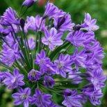 Как да отглеждаме цветето на любовта Агапантус