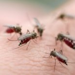 Как да използвате масло от розмарин за комари