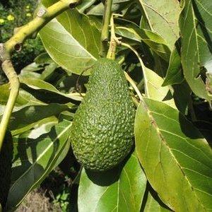 Как се отглежда авокадо