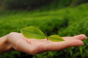 Как помага на кожата ни зеленият чай