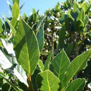 Дафиновият лист-свещеното растение
