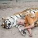 Жена отглежда два бенгалски тигъра като домашни любимци