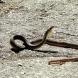 Деца не отидоха на училище заради кълбо змии пред дома им
