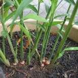 Защо да купувате този благодатен корен-Можете да си го отгледате у дома!